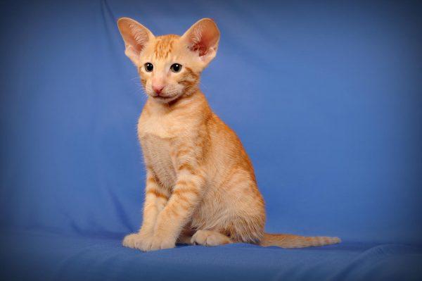 Рыжий ориентальный котёнок с большими глазами на синем фоне