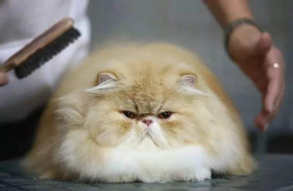 рыжий персидский кот с белой грудкой