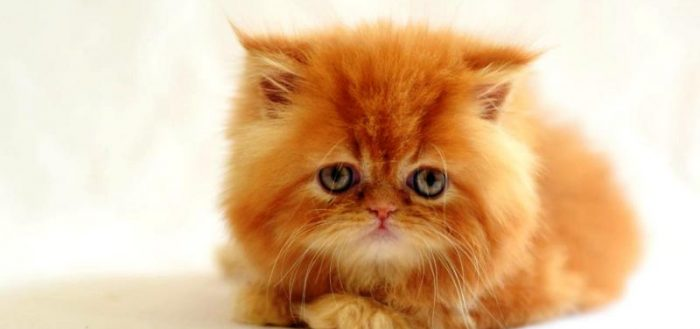 рыжий персидский котёнок