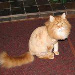 Рыжий пушистый кот со стрижкой «Пума» сидит на полу