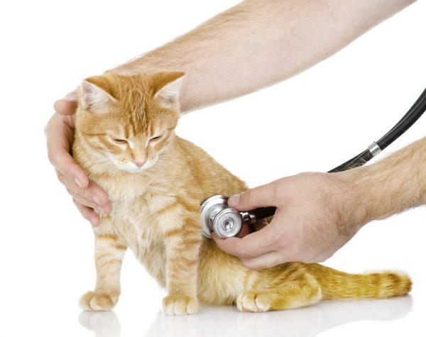 Рыжую кошку «щупают» фонендоскопом