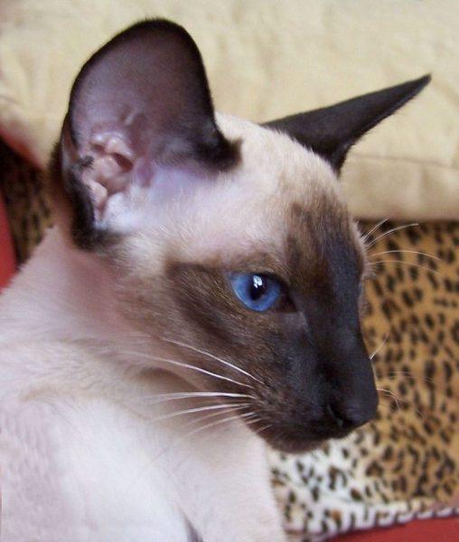 Голова сиамской кошки крупным планом
