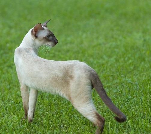 Сиамская кошка на траве