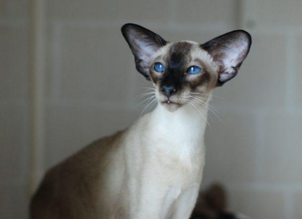 Современный сиамский кот