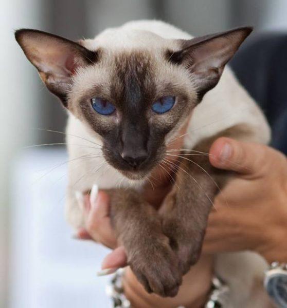 Кошка в руках