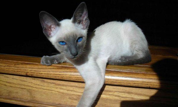 Сиамский котёнок с синими глазами