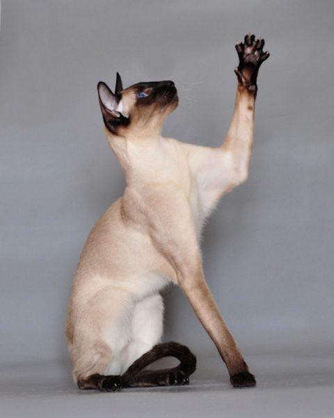 Кошка с поднятой лапой