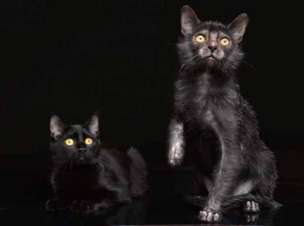 Ликой и обычный кот