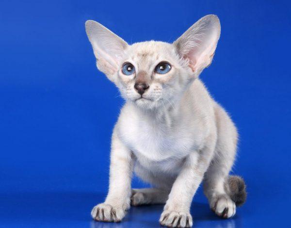 Котёнок-сиам