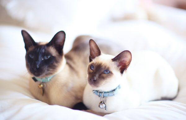 Пара сиамских кошек
