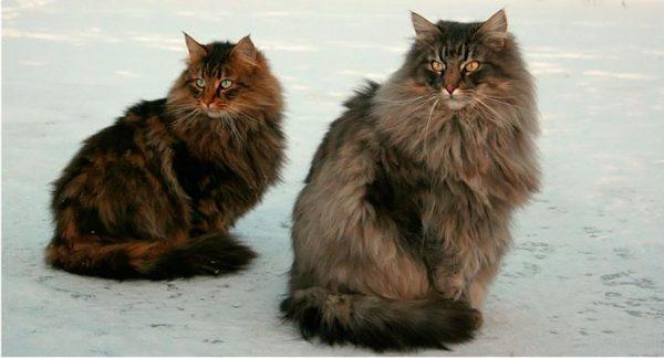 самка и самец породы норвежская лесная кошка
