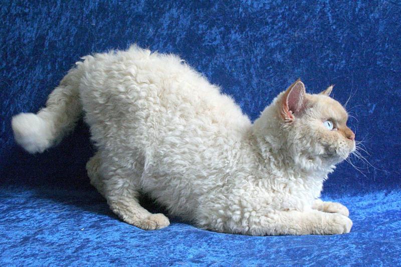 Особенности внешности, характера и содержания кошек породы селкирк рекс