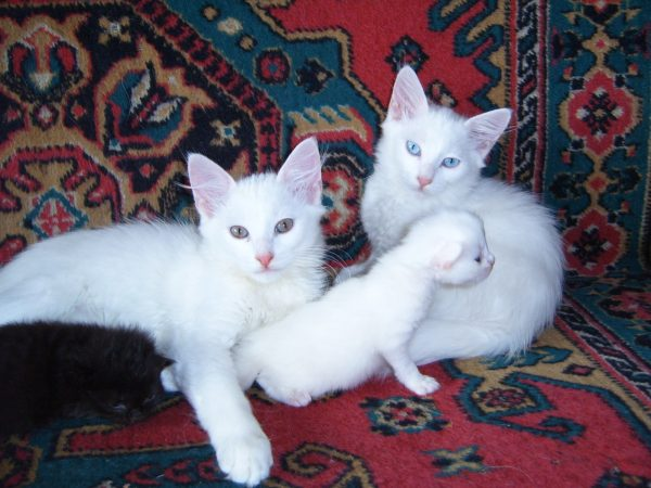 Семья ангорских кошек