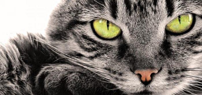 Серая кошка с зелёными глазами