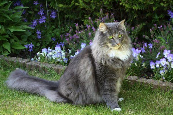 серая норвежская кошка рядом с клумбой