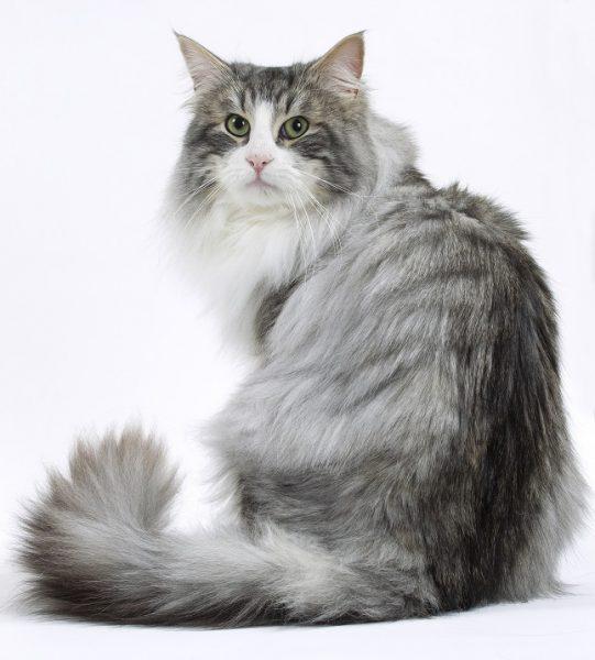серая норвежская кошка с белым галстуком