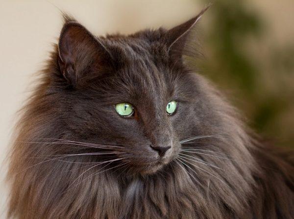 серая норвежская кошка с ярко-зелёными глазами