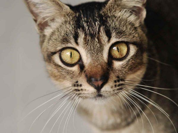 Серая полосатая кошка крупным планом