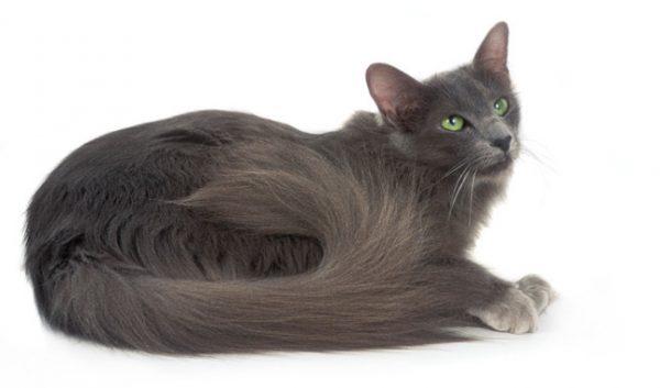 Серая яванская кошка