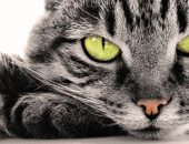 Серая зеленоглазая кошка крупным планом