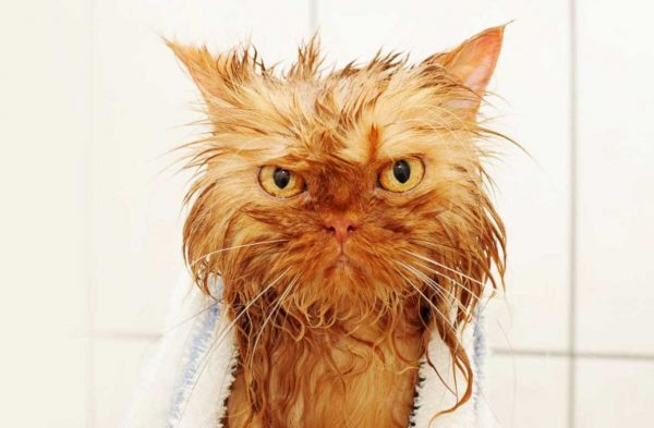 мокрый рыжий кот со злым взглядом