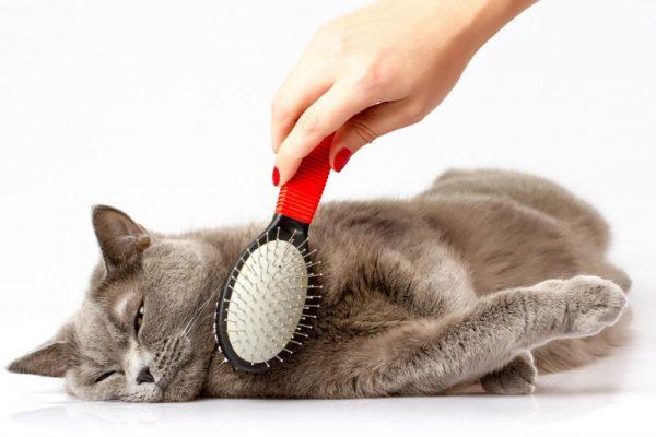 Серого кота расчёсывают красной щёткой