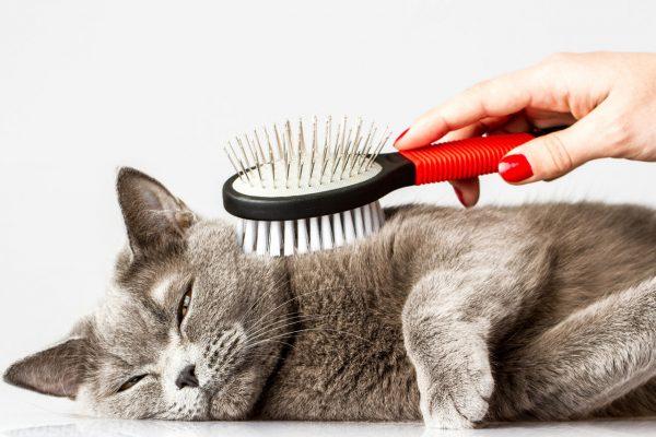 серого кота расчёсывают щёткой
