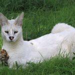 сервал-альбинос