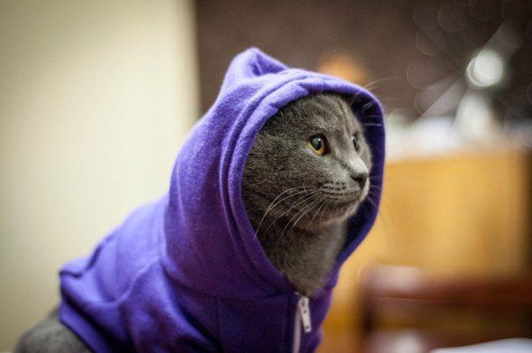 серый кот в фиолетовой толстовке с капюшоном
