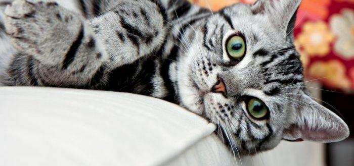 серый полосатый кот с зелёными глазами