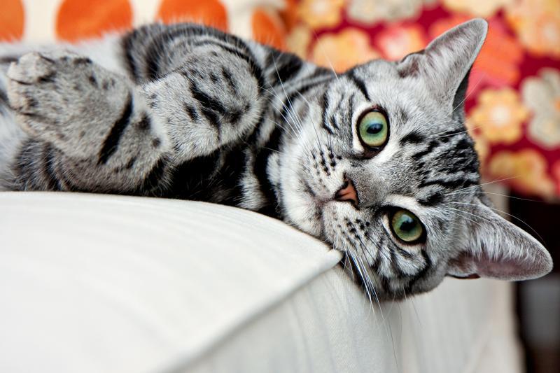 Самые красивые кошки в мире — кто они