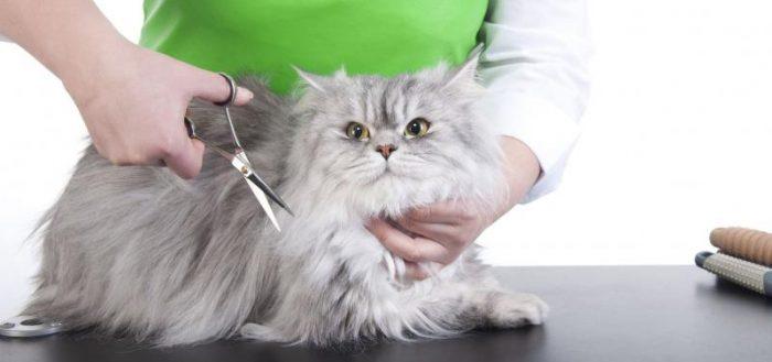 серый пушистый кот и женщина с ножницами