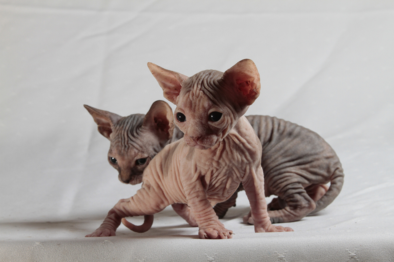 Кошка сфинкс: порода в стиле «ню»