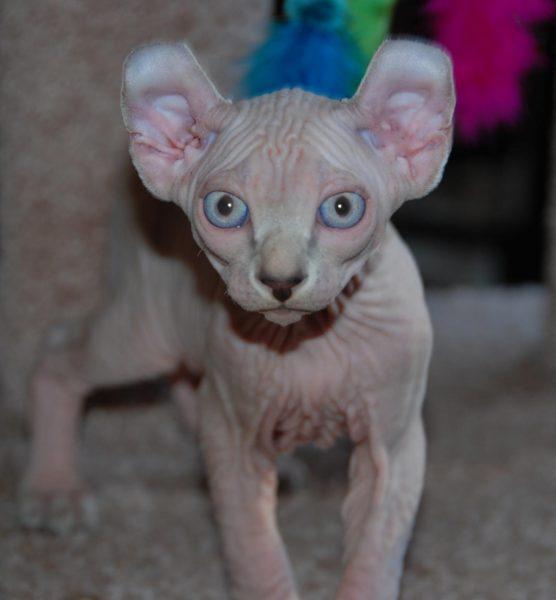 голубоглазый котёнок эльф с чёрным кончиком носа