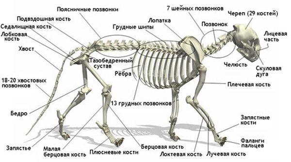 Схема строения кошачьего скелета