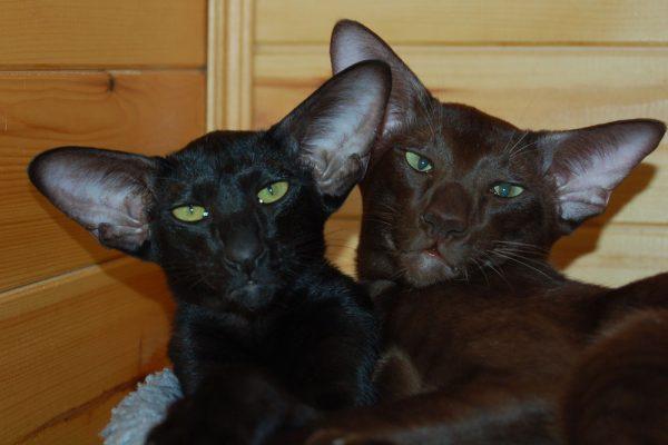 Шоколадный кот и чёрная кошка ориентальной породы