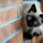 Сиамская кошка у кирпичной стены