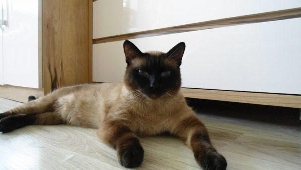 Сиамский кот на полу в комнате
