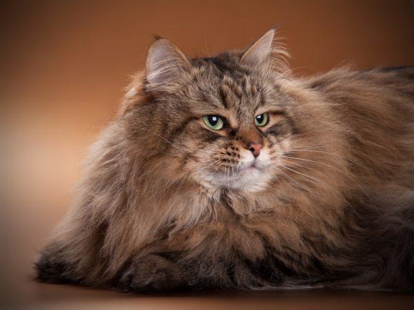 сибирский кот лежит