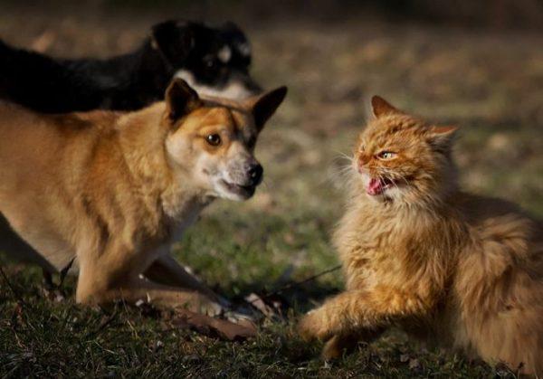 Сибирский кот и собака