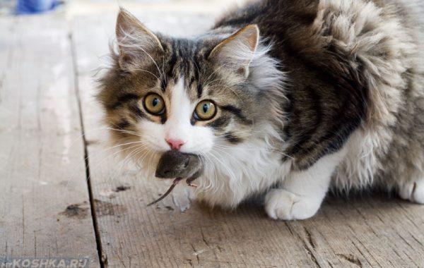 Сибирский кот поймал мышку