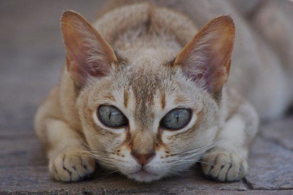 Сингапурская кошка лежит