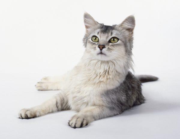 Сомалийская кошка голубого окраса