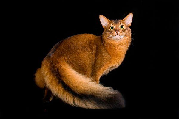 Сомалийская кошка окраса «ruddy»
