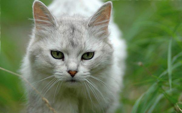Сомалийская кошка окраса «сильвер»