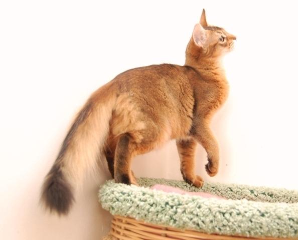 Сомалийская кошка окраса «соррель»
