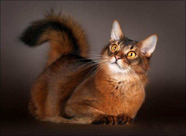 Сомалийская кошка с поднятым хвостом на тёмно-сером фоне
