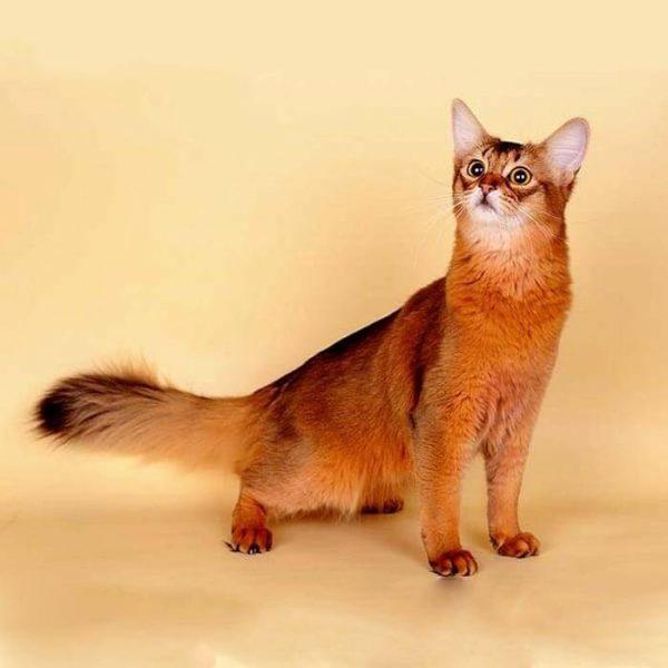 Сомалийская кошка на бежевом фоне