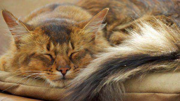 Сомалийский кот спит, свесив хвост