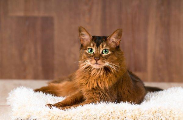 Сомайлийская кошка на белом ковре с длинным ворсом